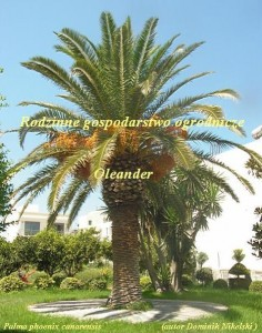sadzonki palm